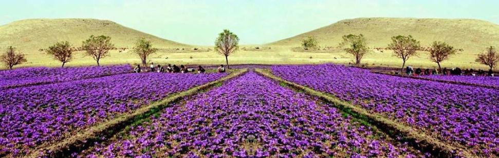 saffron-fields.jpg