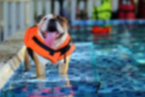 English Bulldog, Dog wear life jacket in