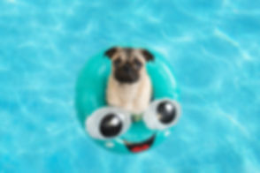 Cute little pug puppy floating in a pool