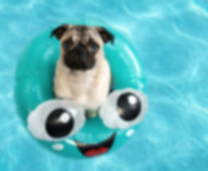 Cute%2520little%2520pug%2520puppy%2520floating%2520in%2520a%2520pool%2520in%2520a%2520fun%2520inflat