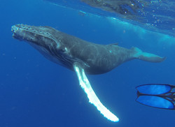 Whale Swimming