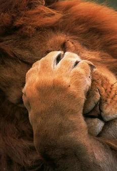 Lion - LINO 1.jpg