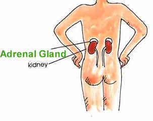 Your Adrenals