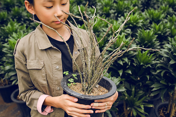 유포르비아 플라티클라다  Euphorbia platyclada