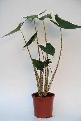 알로카시아 지브리나  Alocasia Zebrina
