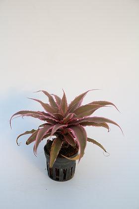 크립탄서스  starfish plant