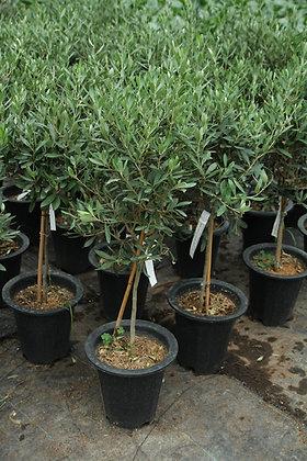 올리브나무 ( 토피어리어형)