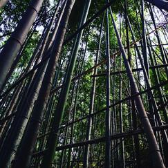 虚無僧尺八用の竹を採りに来ました。