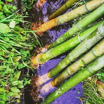 虚無僧尺八製作。竹の根っ子を川で洗います。
