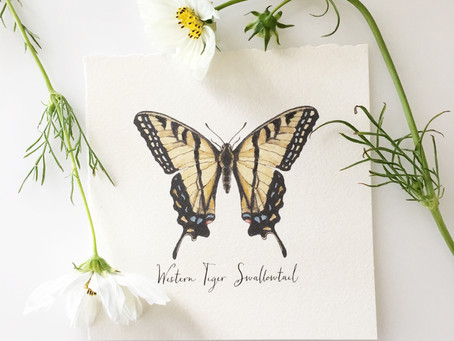 NORTHERN TIGER SWALLOWTAIL BUTTERFLY