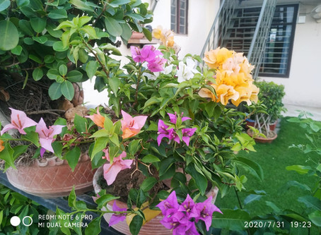 Bougainvillea: My Experiment with one Plant and Many Colors