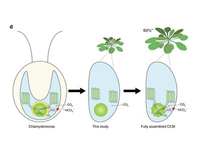 Algae Proteins for Photosynthetic CO2 Uptake to Enable Major Boost in Crop Yields by up to 60%