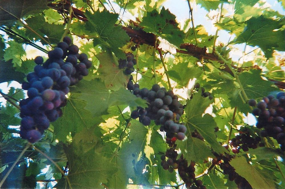 winegut
