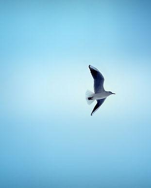 seagull-bird-flying-sky-hd-wallpaper.jpg