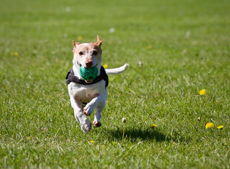 What Ball Chasing is Really Doing for Your Dog's Health