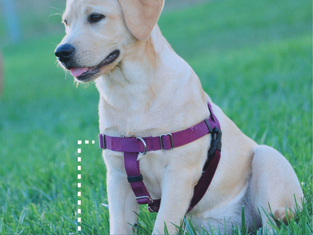 4 Reasons to Use a Dog Harness
