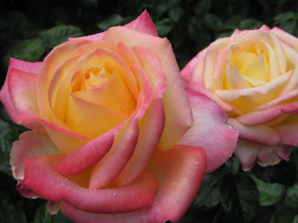 Slow down and smell these beautiful roses!