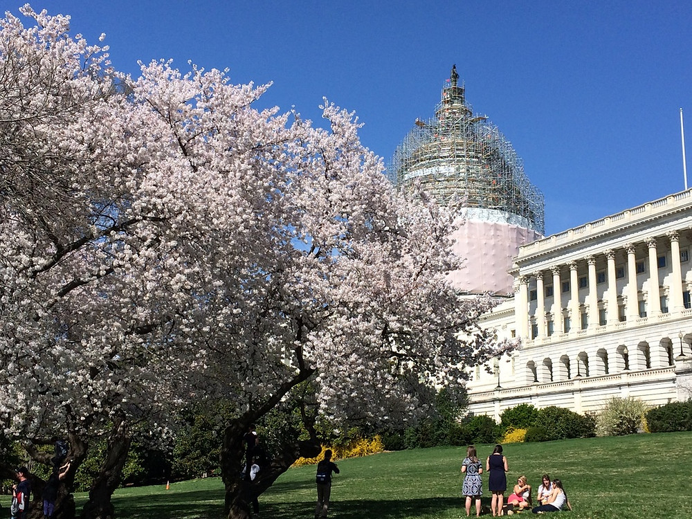 The US Capitol at the peak of cherry blossom season