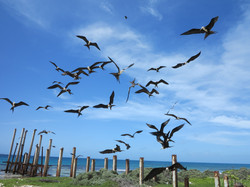 Frigate Birds on Middle Cay