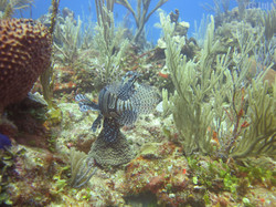 Lionfish in the SWCSFCA
