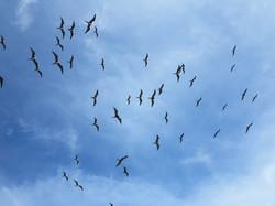 Frigate Birds soaring high