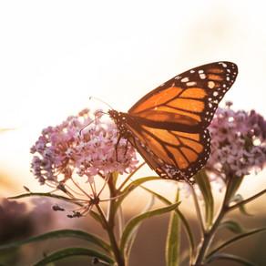 Peligra la migración de la monarca