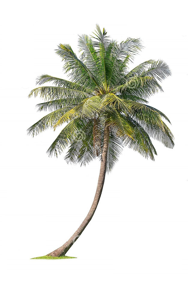 cisolated-coconut-tree-white-background-