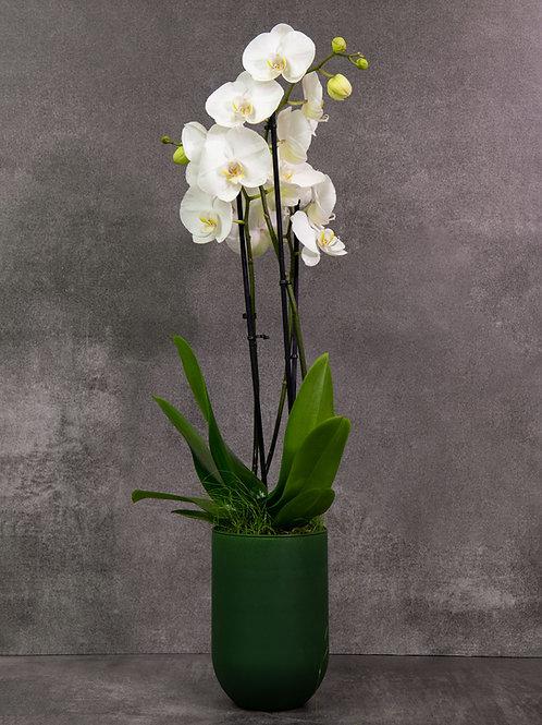 Orchidee Phaleonopsis
