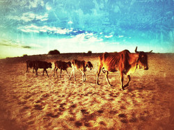 Drought Catlle