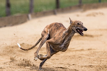 greyhounds-5373255_1920.jpg