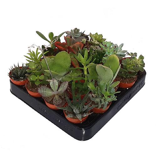 20 Erbe grasse succulente