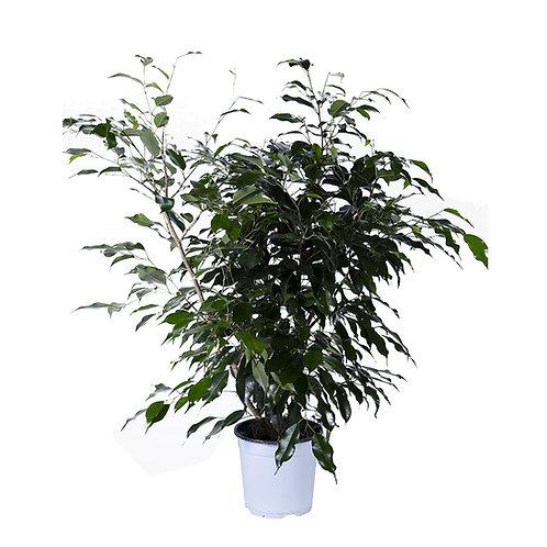n° 2 Ficus Benjamin