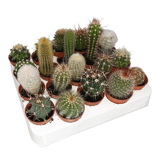 20 Piante grasse, cactus
