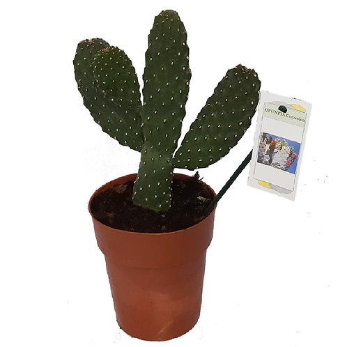 Cactus Opuntia Consolea
