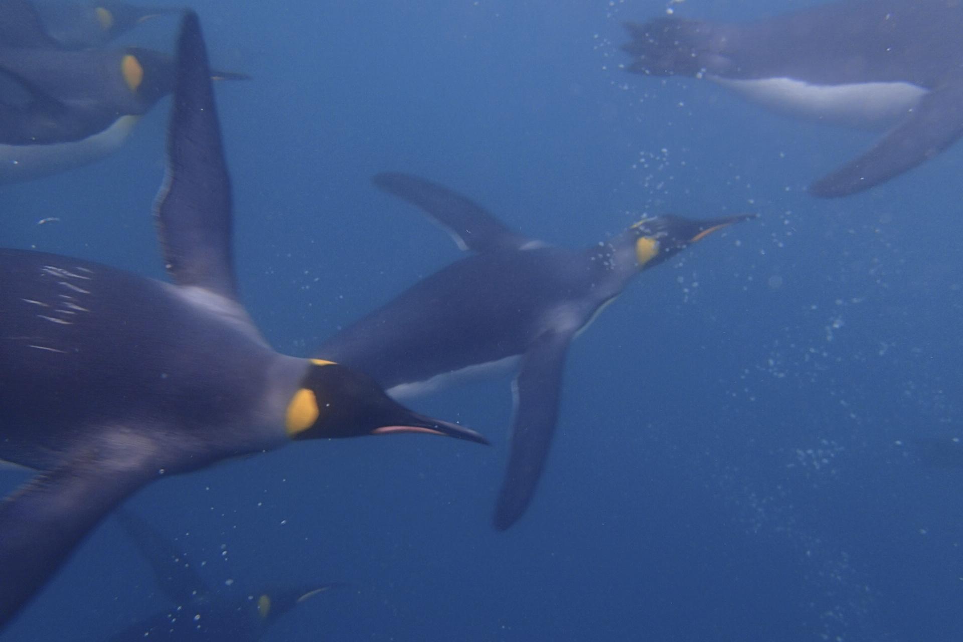 King Penguin Dive South Georgia
