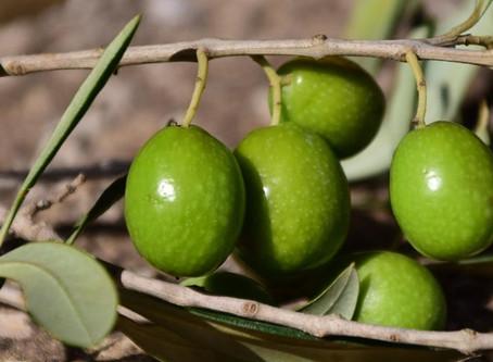 BRINED OLIVES