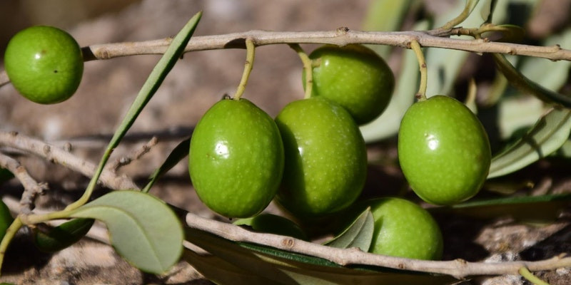 Fresh green olives on the branch