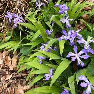 Iris%20Cristata_edited.jpg