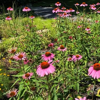 PurpleConeflower_edited.jpg