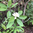 Sweetbay%20Magnolia%20Flower_edited.jpg