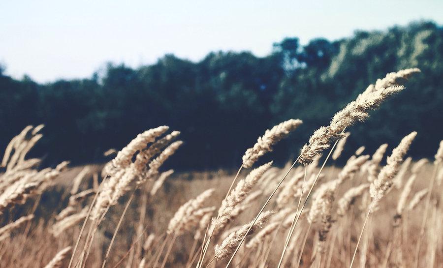 Wheat Field_edited_edited.jpg