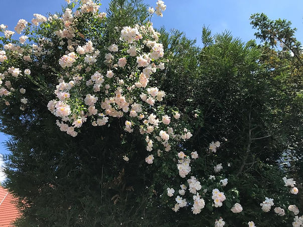 Summer Roses.jpg