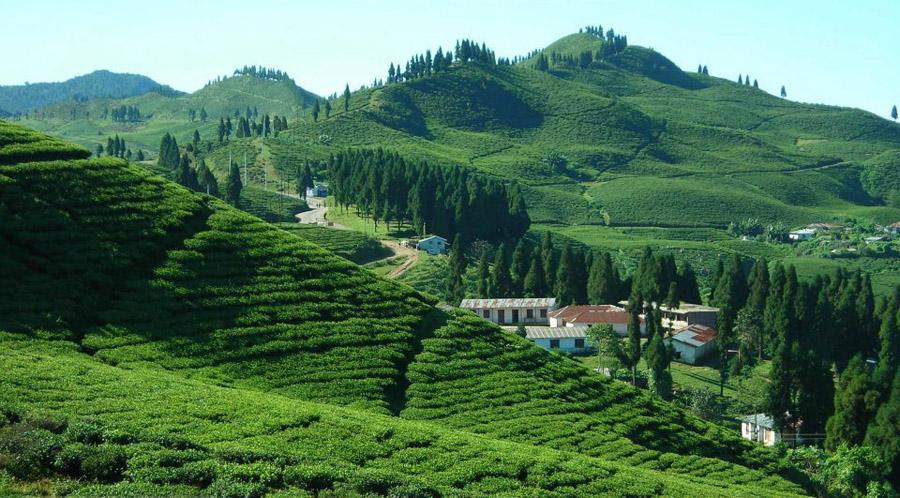 illam-tea-garden