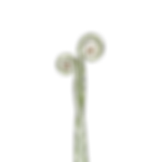 white fern edit.png