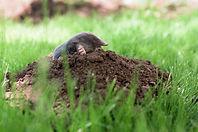ground mole on a mole mound