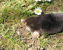 Townsend's mole
