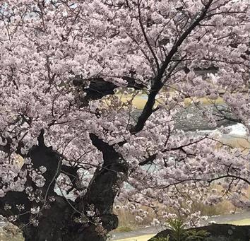 桜と日本人