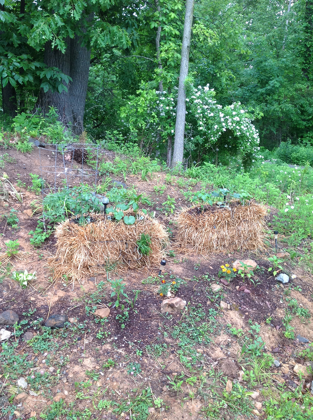 Two straw bales are displaying with green plant growing on top of them. A straw bale garden is an easy and convenient option for beginners.