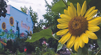 A sunflower growing in one of Pottstown's many gardens.