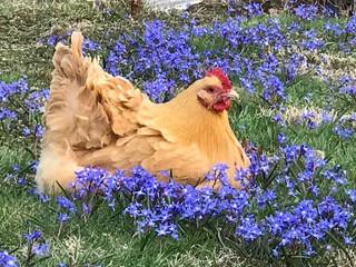 Tanyeli's chicken